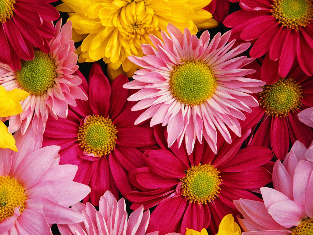 Фото цветы ромашки