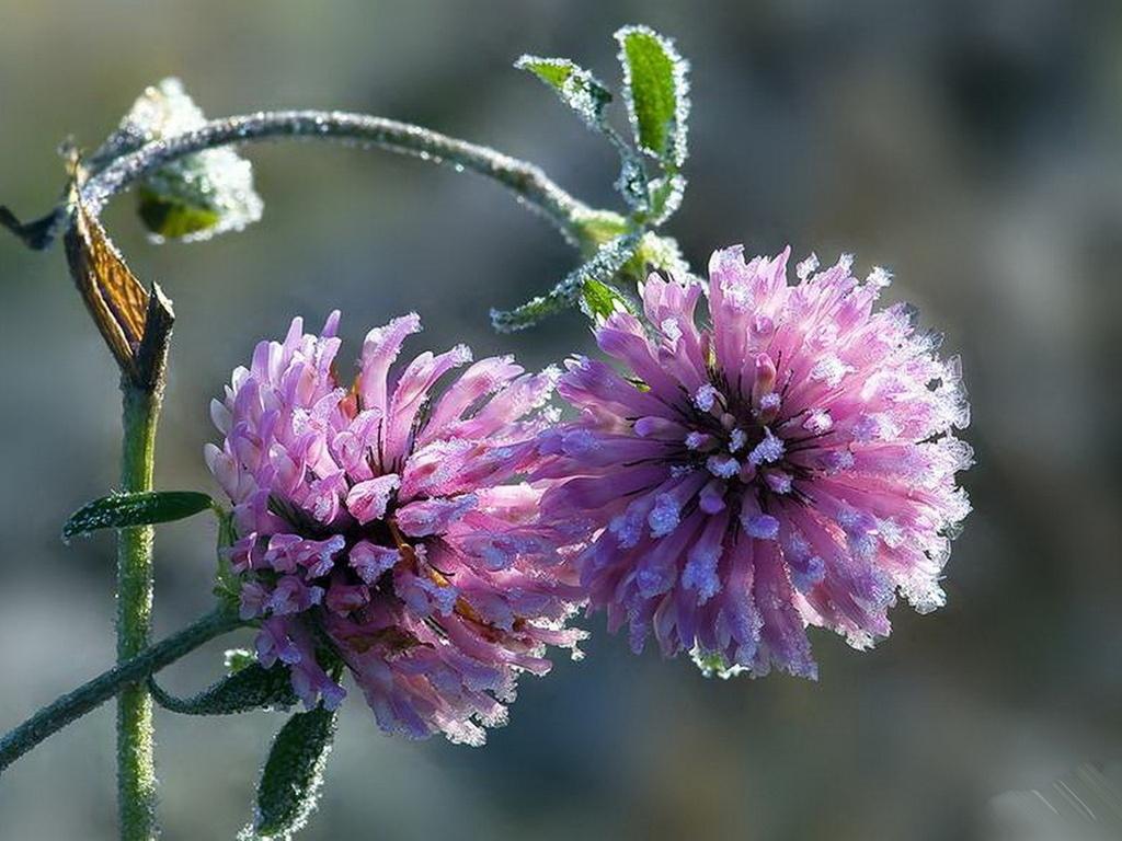 Цветы картинки клевер 1