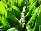 of lily of the valley;