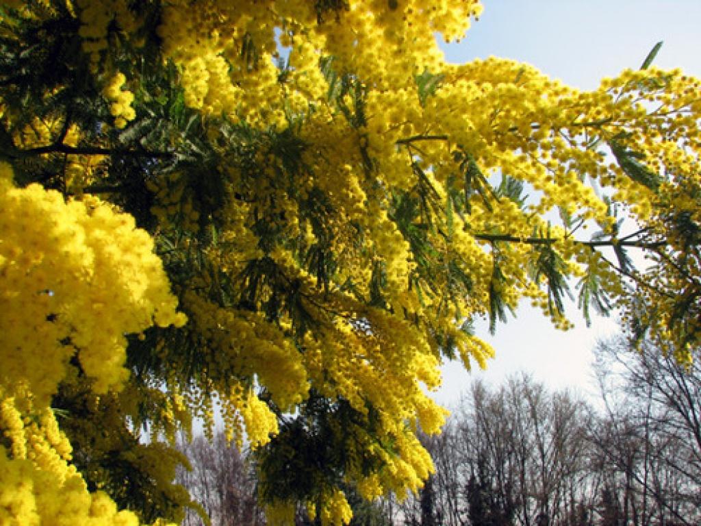 http://exclusiveflowers.ru/mimosa/mimosa_07.jpg