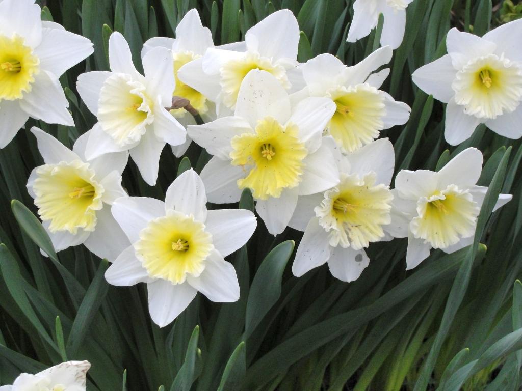 цветы нарциссы фото: