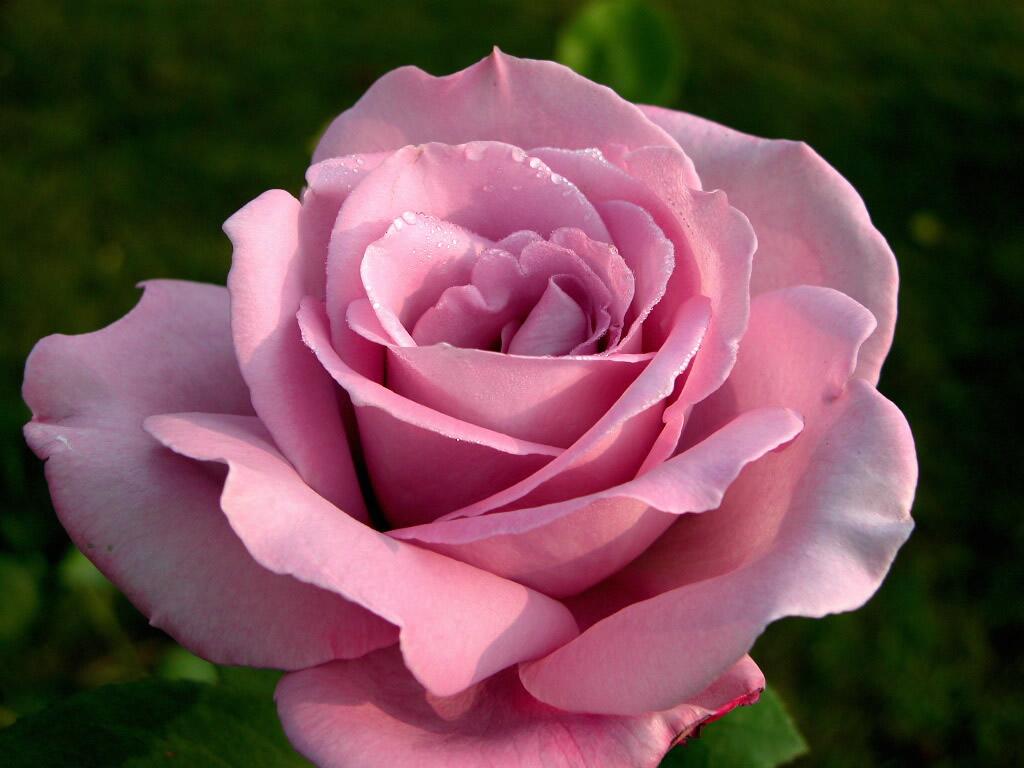 Стихи про розовые розы