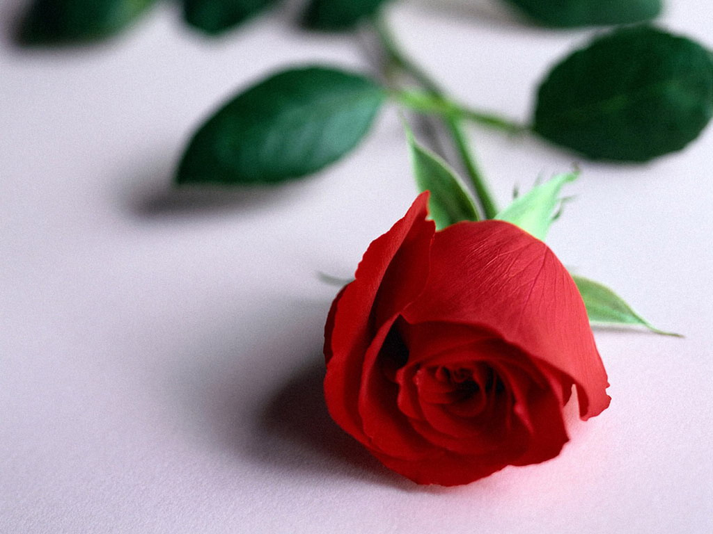 http://exclusiveflowers.ru/roses/roses_222.jpg