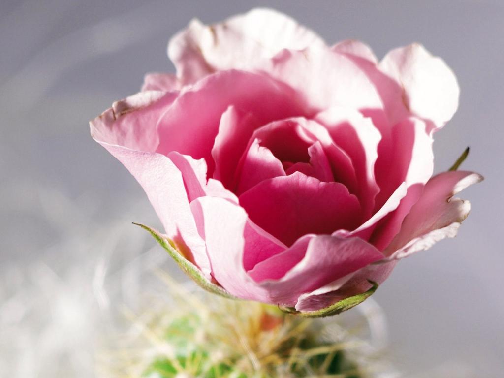 Розы скачать бесплатно, розы фото, картинки: http://exclusiveflowers.ru/roses.php3?i=54
