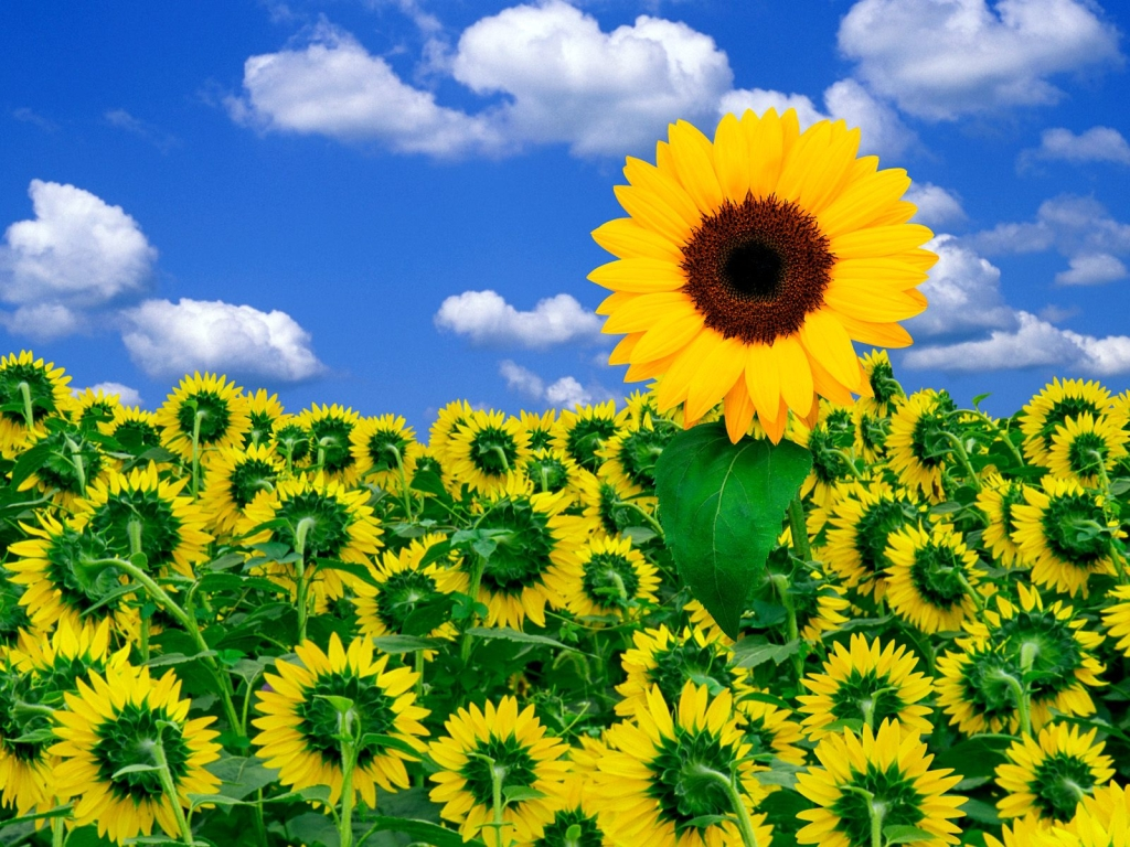 http://exclusiveflowers.ru/sunflowers/sunflower_04.jpg